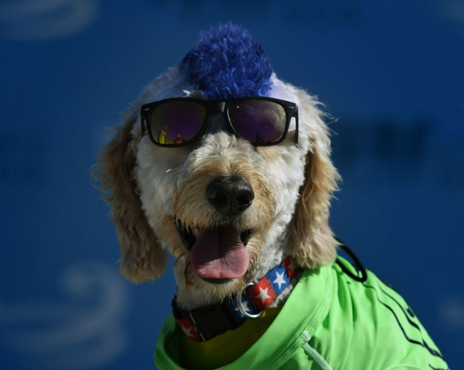 Surf dog Derby waits to compete during the 8th annual Surf City Surf Dog event at Huntington Beach, California on September 25, 2016. Dogs, big and small, and some in tandem braved the large swell that greeted them at the iconic event. (AFP PHOTO / Mark RALSTON)