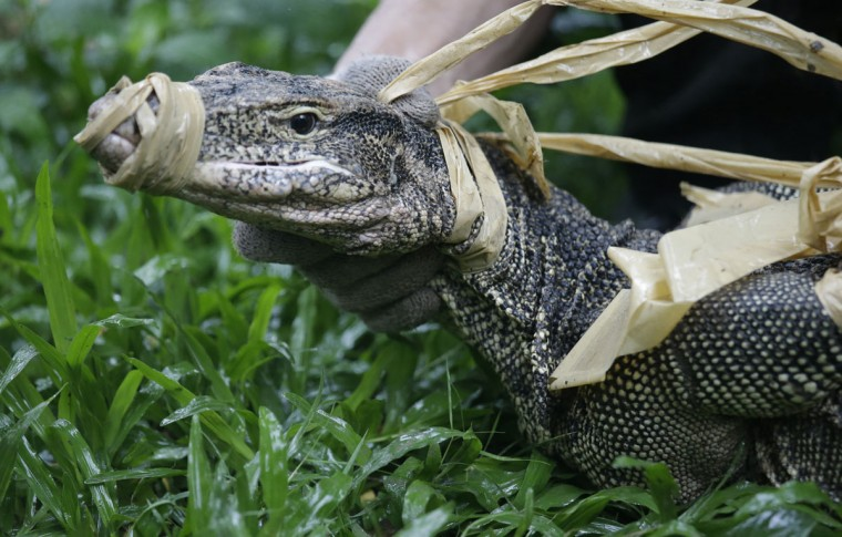 An officer holds a bound monitor lizard caught at Lumpini Park in Bangkok, Thailand, Tuesday, Sept. 20, 2016. The Bangkok Metropolitan Administration's plan for the lizards, who's park population has grown to the hundreds, is to relocate them to a neighboring sanctuary and return the city's central park to a safe destination frequented by tourists and locals. (AP Photo/Sakchai Lalit)