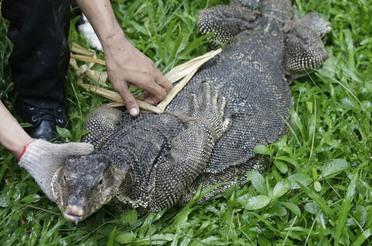 An officer binds a monitor lizard at Lumpini Park in Bangkok, Thailand, Tuesday, Sept. 20, 2016. The Bangkok Metropolitan Administration's plan for the lizards, who's park population has grown to the hundreds, is to relocate them to a neighboring sanctuary and return the city's central park to a safe destination frequented by tourists and locals. (AP Photo/Sakchai Lalit)