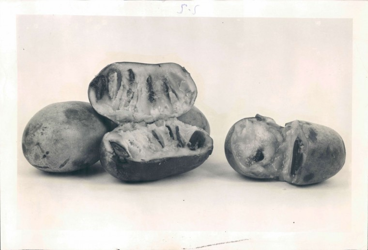 Pawpaws in 1951. Photo taken by Baltimore Sun Staff Photographer A. Aubrey Bodine.
