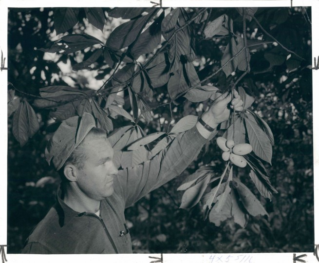 November 18, 1951 - Wilson Arrivour with cluster of Paw Paws - a group of five is very unusual. Photo taken by Baltimore Sun Staff Photographer A. Aubrey Bodine.