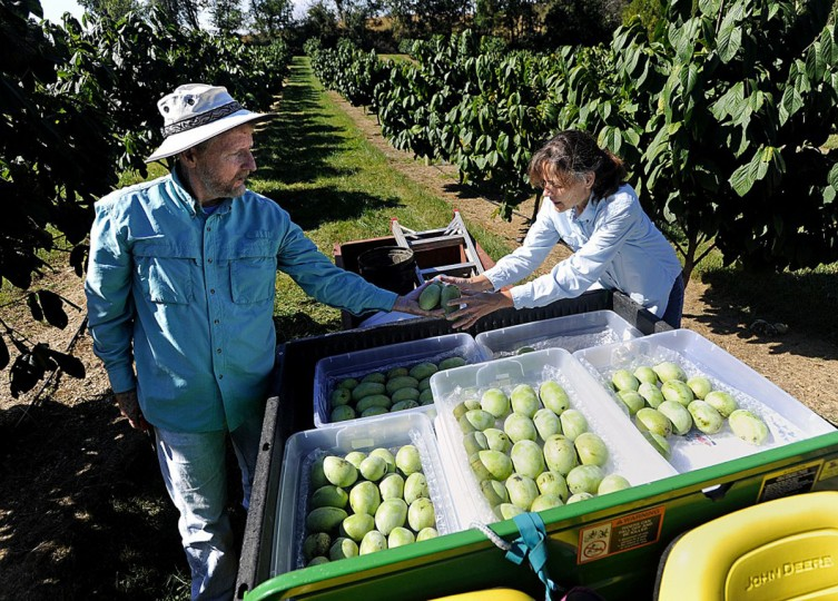 Jim and Donna Davis load freshly picked pawpaws into bins. (Dave Munch, Carroll County Times)