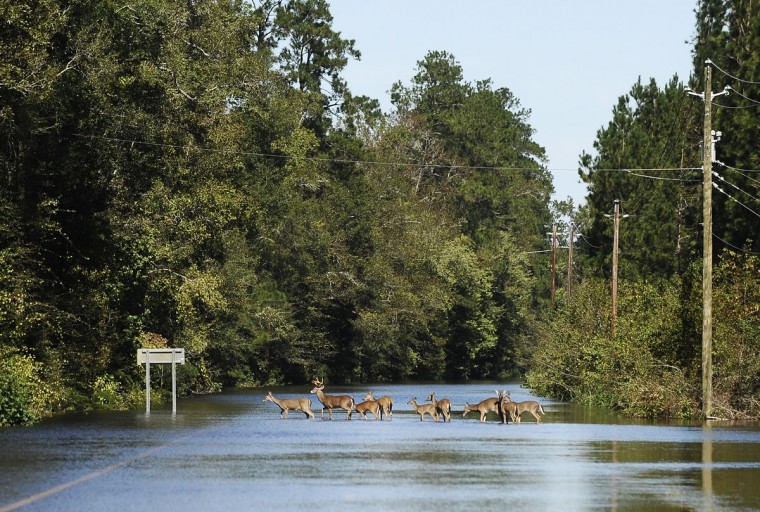A herd of deer crosses a flooded Highway 9 near Nichols, S.C. on Tuesday, Oct. 11, 2016. The town was hit with heavy flooding after Hurricane Matthew. (AP Photo/Rainier Ehrhardt)