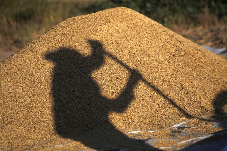 A shadow of a Nepalese farmer falls on a heap of grains as he separates it from chaff and dust after a harvest in Chunnikhel, on the outskirts of Kathmandu, Nepal, Thursday, Oct. 20, 2016. According to the World Bank, agriculture is the main source of food, income, and employment for the majority in Nepal. (AP Photo/Niranjan Shrestha)