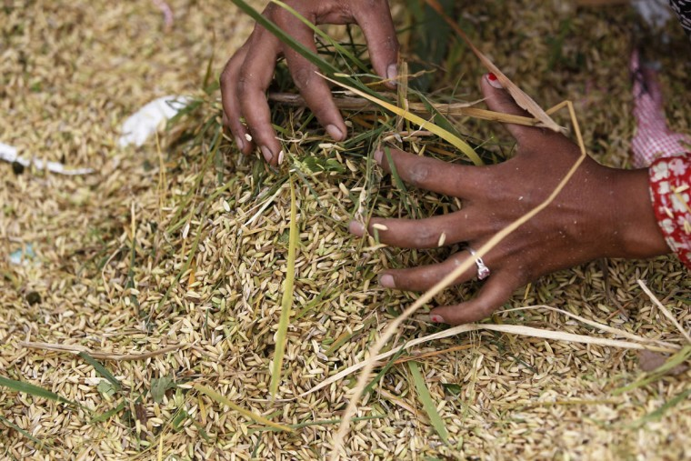 A Nepalese farmer gathers rice grain fallen on the ground during the process of harvesting paddy in Chunnikhel, on the outskirts of Kathmandu, Nepal, Wednesday, Oct. 19, 2016. According to the World Bank, agriculture is the main source of food, income, and employment for the majority in Nepal. (AP Photo/Niranjan Shrestha)