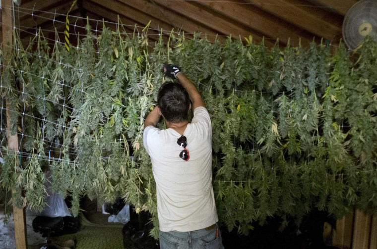 In this Wednesday, Oct. 12, 2016 photo, Anthony Viator hangs harvested marijuana buds for drying on grower Laura Costa's farm near Garberville, Calif. Costa opposes the passage of Proposition 64, the November ballot initiative which would legalize the recreational use of marijuana, fearing that corporate interests and big farms will put her and other small growers out of business. (AP Photo/Rich Pedroncelli)