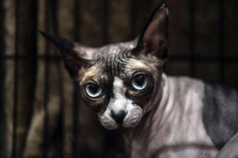 A Sphynx breed cat is pictured inside its cage during a world cats show contest organized by the World Cat Federation (WCF) on October 16, 2016 in Istanbul. (OZAN KOSE/AFP/Getty Images)