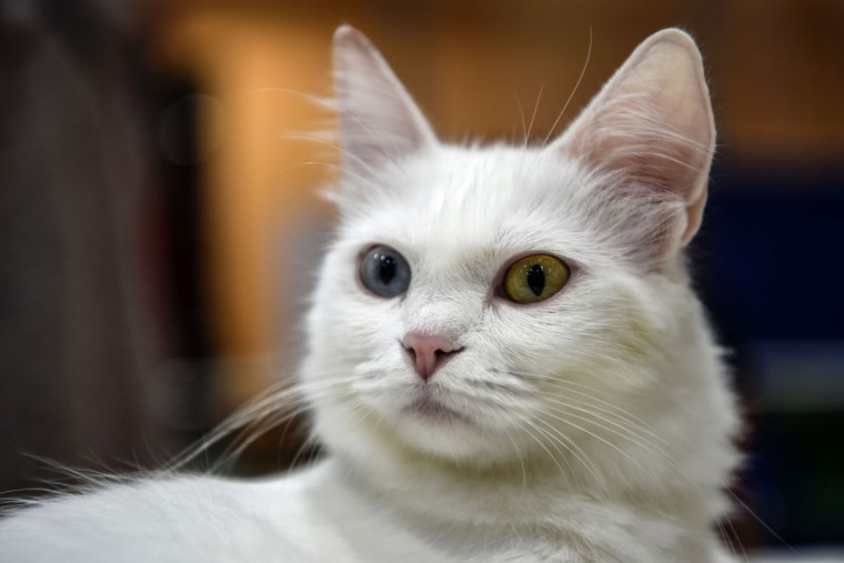 A Turkish Ankara odd-eyed cat is pictured during a world cats show contest organized by the World Cat Federation (WCF) on October 16, 2016 in Istanbul. (OZAN KOSE/AFP/Getty Images)