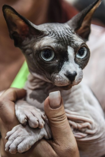 A woman holds a sphynx breed cat during a world cats show contest organized by the World Cat Federation (WCF) on October 16, 2016 in Istanbul. (OZAN KOSE/AFP/Getty Images)