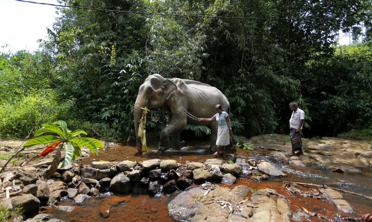 In this July 5, 2016 photo, a Sri Lankan female mahout and her husband walk with their tamed elephant across a waterway in Baduraliya, a village outside Colombo, Sri Lanka. Even as the country cracks down on illegal ownership, the enduring demand for elephants has the government planning to set up its own pool of captive animals to be hired out to temples for ceremonies and maintained with budget funds. For Buddhists, who make up 70 percent of the island's 20 million population, elephants are believed to have been a servant of the Buddha and even a previous incarnation of the holy man himself. (AP Photo/Eranga Jayawardena)