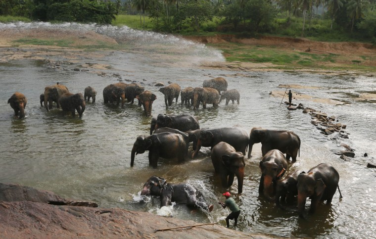 In this Oct. 31, 2016 photo, a zoological garden worker using his hands sprays water on an elephant as the heard rests in a river at the elephant orphanage in Pinnawala about 90 kilometers (56 miles) east of Colombo, Sri Lanka .For centuries, owning an elephant was seen by Sri Lanka's Buddhist elite as a sign of prestige and authority. Many among the wealthy, who consider the animals to be divine, have long flouted laws against elephant ownership to keep a jumbo chained up in their back yard. But with illegal capture helping to drive wild populations into steep decline, the government is now cracking down, seizing the animals and launching criminal investigations against elite members of society, including a monk and a judge.(AP Photo/Eranga Jayawardena)