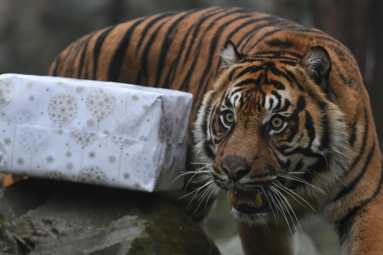 A picture taken on December 23, 2016 shows a Sumatran tiger next to a wrapped package filled with food as a Christmas gift at the zoo of La Fleche, western France, on December 23, 2016. / (AFP Photo/Jean-francois Monier)