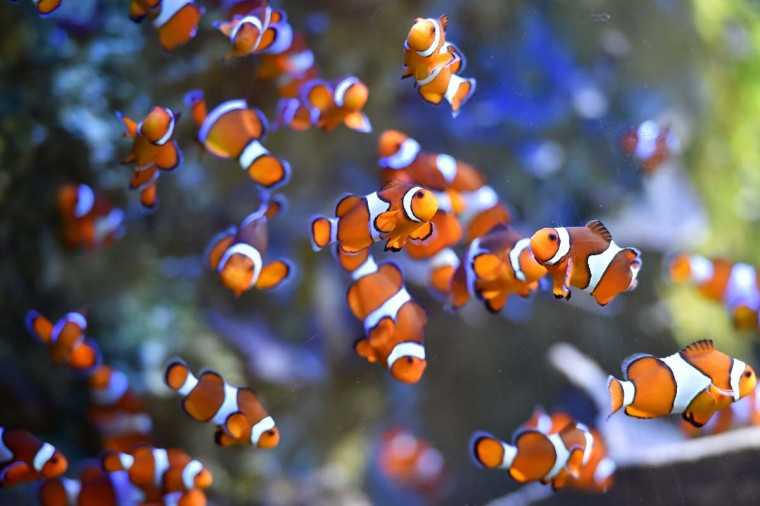 Clownfish swim at the Ocearium in Le Croisic, western France, on December 6, 2016. (LOIC VENANCE/AFP/Getty Images)