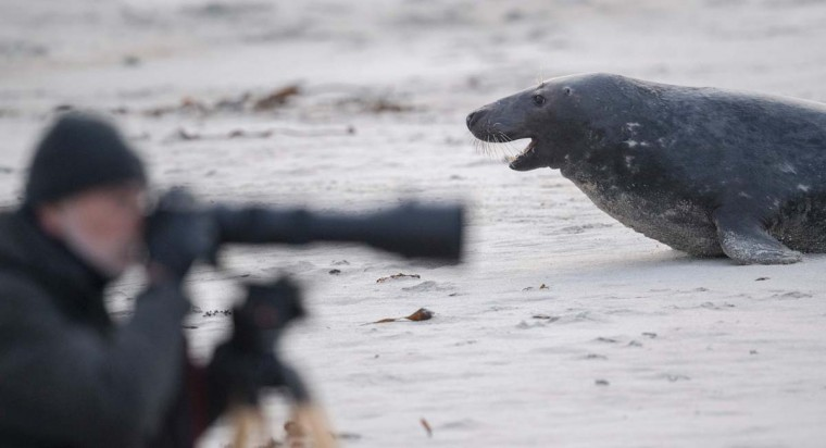 A male Grey Seal faces a competitor near a photographer on a beach on the north Sea island of Helgoland on December 14, 2016. Hundreds of Grey Seals use the island to give birth to their pups, usually between the months of November and January. The pups, after 3 weeks of nursing, are then left to fend for themselves. This year has seen a record number of new pups, with 320 births recorded up to December 14. (JOHN MACDOUGALL/AFP/Getty Images)