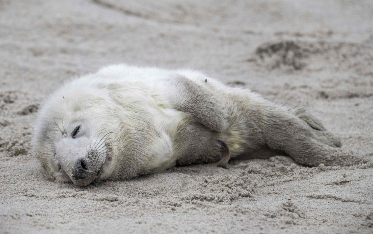 A newly born grey seal pup rests on a beach on the North Sea island of Heligoland, Germany, on December 14, 2016. As the mating season starts after female grey seals give birth, males usually compete by shows of strength against other males. Hundreds of grey seals use the island to give birth to their pups, usually between the months of November and January. The pups, after 3 weeks of nursing, are then left to fend for themselves. This year has seen a record number of new pups, with 320 births recorded up to December 14. (John Macdougall/AFP/Getty Images)