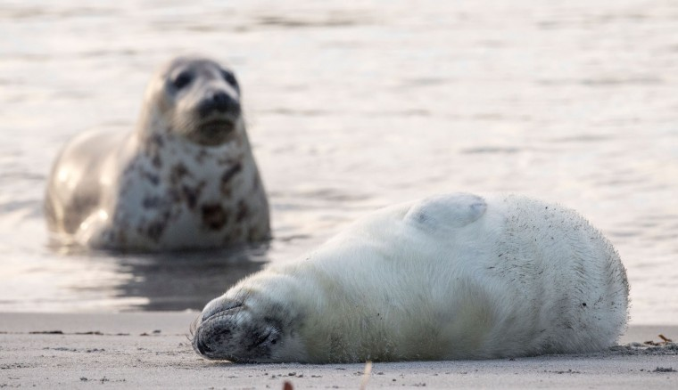 A grey seal watches over her pup lying on a beach on the North Sea island of Heligoland, Germany, on December 14, 2016. As the mating season starts after female grey seals give birth, males usually compete by shows of strength against other males. Hundreds of grey seals use the island to give birth to their pups, usually between the months of November and January. The pups, after 3 weeks of nursing, are then left to fend for themselves. This year has seen a record number of new pups, with 320 births recorded up to December 14. (John Macdougall/AFP/Getty Images)