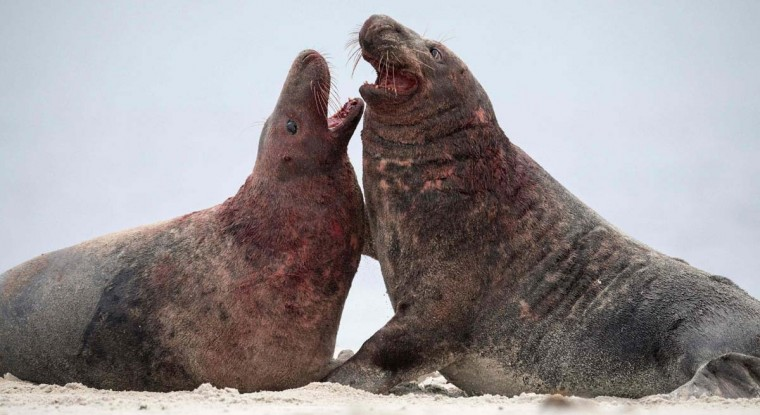 Two male Grey Seals are covered in blood as they fight on the north Sea island of Helgoland on December 14, 2016. As the mating season starts after female Grey Seals give birth, males usually compete by shows of strength against other males. Hundreds of Grey Seals use the island to give birth to their pups, usually between the months of November and January. The pups, after 3 weeks of nursing, are then left to fend for themselves. This year has seen a record number of new pups, with 320 births recorded up to December 14. (JOHN MACDOUGALL/AFP/Getty Images)