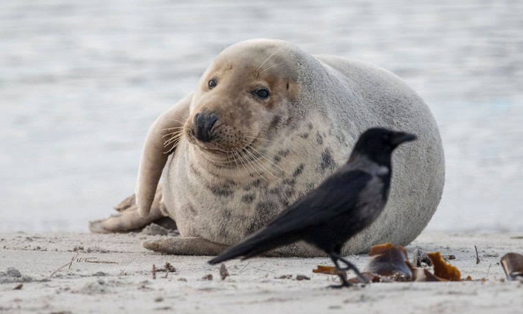 A grey seal looks at a black bird on the beach on the North Sea island of Heligoland, Germany, on December 14, 2016. As the mating season starts after female grey seals give birth, males usually compete by shows of strength against other males. Hundreds of grey seals use the island to give birth to their pups, usually between the months of November and January. The pups, after 3 weeks of nursing, are then left to fend for themselves. This year has seen a record number of new pups, with 320 births recorded up to December 14. (John Macdougall/AFP/Getty Images)