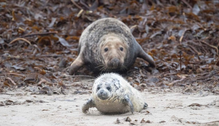 A female Grey Seal wriggles after her pup on the beach on the north Sea island of Helgoland, Germany, on December 14, 2016. As the mating season starts after female Grey Seals give birth, males usually compete by shows of strength against other males. Hundreds of Grey Seals use the island to give birth to their pups, usually between the months of November and January. The pups, after 3 weeks of nursing, are then left to fend for themselves. This year has seen a record number of new pups, with 320 births recorded up to December 14. (JOHN MACDOUGALL/AFP/Getty Images)