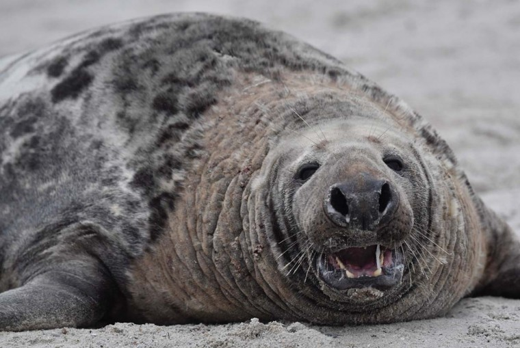 A male Grey Seal shows his teeth as he lies on the beach on the north Sea island of Helgoland, Germany, on December 14, 2016. As the mating season starts after female Grey Seals give birth, males usually compete by shows of strength against other males. Hundreds of Grey Seals use the island to give birth to their pups, usually between the months of November and January. The pups, after 3 weeks of nursing, are then left to fend for themselves. This year has seen a record number of new pups, with 320 births recorded up to December 14. (JOHN MACDOUGALL/AFP/Getty Images)