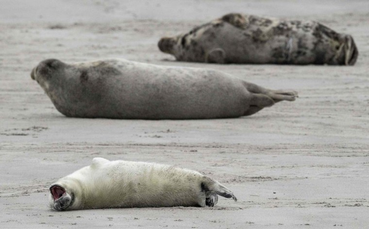 A Grey Seal pup yawns as it lies next to female Grey Seals on the beach on the north Sea island of Helgoland, Germany, on December 14, 2016. As the mating season starts after female Grey Seals give birth, males usually compete by shows of strength against other males. Hundreds of Grey Seals use the island to give birth to their pups, usually between the months of November and January. The pups, after 3 weeks of nursing, are then left to fend for themselves. This year has seen a record number of new pups, with 320 births recorded up to December 14. (JOHN MACDOUGALL/AFP/Getty Images)