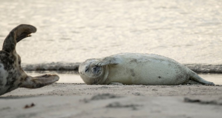 A grey seal pup scratches itself on a beach on the north Sea island of Heligoland, Germany, on December 14, 2016. As the mating season starts after female grey seals give birth, males usually compete by shows of strength against other males. Hundreds of grey seals use the island to give birth to their pups, usually between the months of November and January. The pups, after 3 weeks of nursing, are then left to fend for themselves. This year has seen a record number of new pups, with 320 births recorded up to December 14. (John Macdougall/AFP/Getty Images)