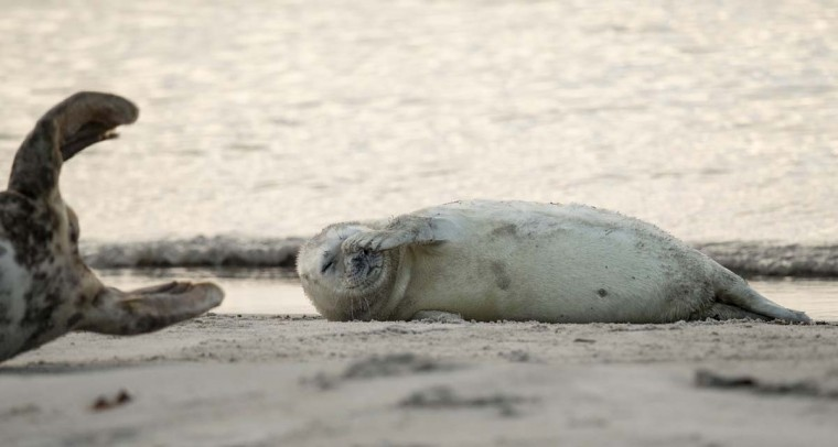 A Grey Seal pup scratches itself on a beach on the north Sea island of Helgoland, Germany, on December 14, 2016. As the mating season starts after female Grey Seals give birth, males usually compete by shows of strength against other males. Hundreds of Grey Seals use the island to give birth to their pups, usually between the months of November and January. The pups, after 3 weeks of nursing, are then left to fend for themselves. This year has seen a record number of new pups, with 320 births recorded up to December 14. (JOHN MACDOUGALL/AFP/Getty Images)