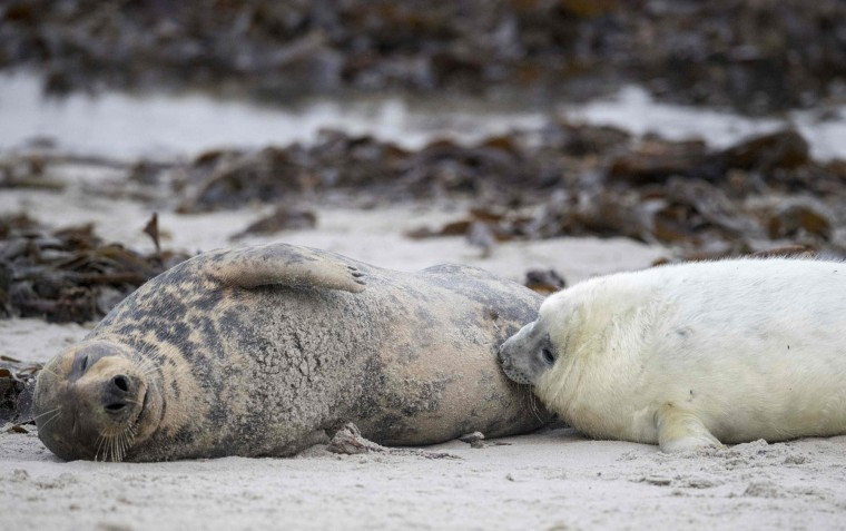 A female grey seal nurses her pup on a beach on the North Sea island of Heligoland, Germany, on December 14, 2016. As the mating season starts after female grey seals give birth, males usually compete by shows of strength against other males. Hundreds of grey seals use the island to give birth to their pups, usually between the months of November and January. The pups, after 3 weeks of nursing, are then left to fend for themselves. This year has seen a record number of new pups, with 320 births recorded up to December 14. (John Macdougall/AFP/Getty Images)