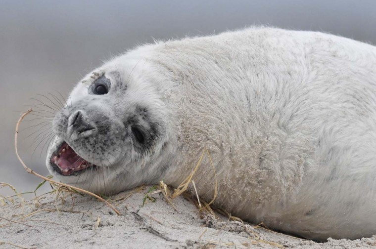 A Grey Seal pup plays with a blade of dried grass on a beach on the north Sea island of Helgoland, Germany, on December 14, 2016. As the mating season starts after female Grey Seals give birth, males usually compete by shows of strength against other males. Hundreds of Grey Seals use the island to give birth to their pups, usually between the months of November and January. The pups, after 3 weeks of nursing, are then left to fend for themselves. This year has seen a record number of new pups, with 320 births recorded up to December 14. (JOHN MACDOUGALL/AFP/Getty Images)