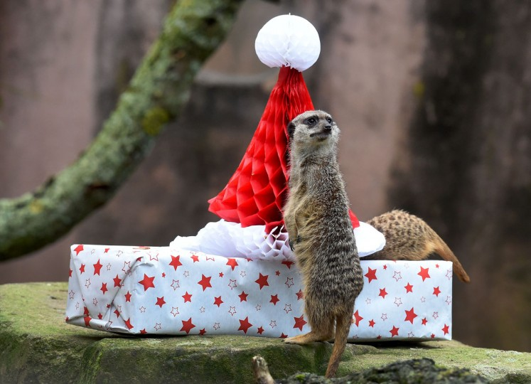 Meerkats examine a Christmas gift filled with mealworms on December 20, 2016 at the zoo in Hanover, central Germany. / (AFP Photo/Dpa / )