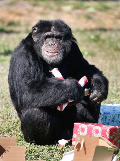 A chimpanzee opens a Christmas present at the 'Christmas with the Chimps' event at Lion Country Safari in West Palm Beach, Florida, on December 22, 2016. Lion Country Safari, America's first cageless zoo, has held the annual event for over 20 years with Santa Claus leaving presents and treats for the chimps. / (AFP Photo/Rhona Wise)