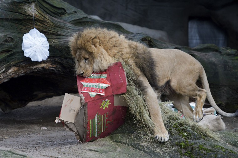 A lion carries a Christmas parcel thats was filled with food at the Hagenbeck zoo in Hamburg, northern Germany, Friday, Dec. 23, 2016. (Axel Heimken/dpa via AP)