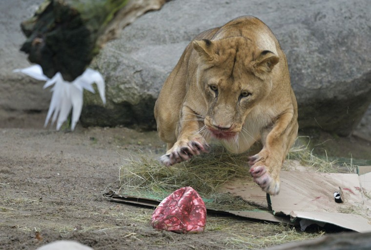 A female lion jumps after a Christmas ball filled with food at the Hagenbeck zoo in Hamburg, northern Germany, Friday, Dec. 23, 2016. (Axel Heimken/dpa via AP)