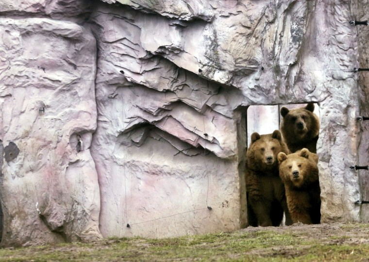 Female brown bears Smilla, top, Alma, left, and Frida peer out of their compound at the zoo in Duisburg, Germany, Friday, Dec. 23, 2016. (Roland Weihrauch/dpa via AP)