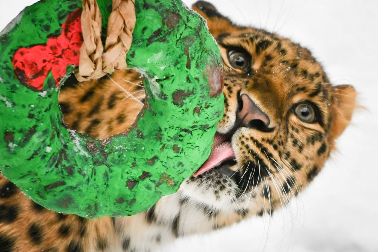 "All I want for Christmas is a ""bloodsicle."" Tamara, one of the Minnesota Zoo's Amur leopards receives a frozen block of horse blood, painted in holiday colors. She licked it, smacked it and tried to chew it down. (Glen Stubbe/Minneapolis Star Tribune/TNS)"