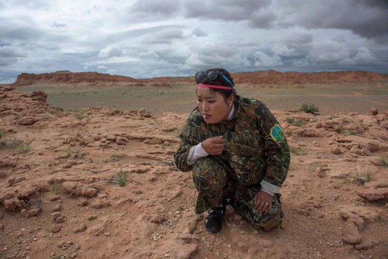 This picture taken on June 27, 2016 shows national park ranger Surenjav Munkhsaikhan licking a stone to test if its a fossil near the Flaming Cliffs in the Gobi desert. For years, herder Gelegrash had a sideline bringing tourists to see a dinosaur skull hidden near the Flaming Cliffs in Mongolia's Gobi desert. Then, one day, it was gone. It is one of thousands of ancient fossils that have disappeared from the country since American explorer Roy Chapman Andrews -- supposedly the inspiration for the movie character Indiana Jones -- discovered dinosaur eggs there nearly a century ago. (JOHANNES EISELE/AFP/Getty Images)