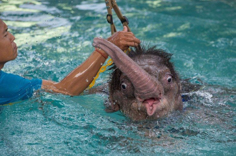 Six month-old baby elephant 'Clear Sky' is kept afloat with the help of a harness during a hydrotherapy session at a local veterinary clinic in Chonburi Province on January 5, 2017. After losing part of her left foot in a snare in Thailand, baby elephant 'Clear Sky' is now learning to walk again -- in water. The six-month-old is the first elephant to receive hydrotherapy at an animal hospital in Chonburi province, a few hours from Bangkok. The goal is to strengthen the withered muscles in her front leg, which was wounded three months ago in an animal trap laid by villagers to protect their crops. (Roberto Schmidt/AFP/Getty Images)