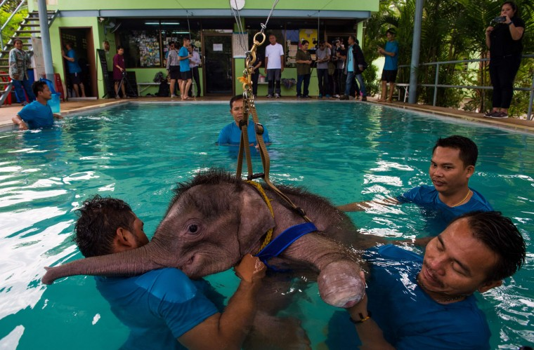 Six month-old baby elephant 'Clear Sky' takes a breather during a hydrotherapy session at a local clinic in Chonburi province on January 5, 2017. After losing part of her left foot in a snare in Thailand, baby elephant 'Clear Sky' is now learning to walk again -- in water. The six-month-old is the first elephant to receive hydrotherapy at an animal hospital in Chonburi province, a few hours from Bangkok. The goal is to strengthen the withered muscles in her front leg, which was wounded three months ago in an animal trap laid by villagers to protect their crops. (Roberto Schmidt/AFP/Getty Images)