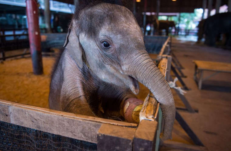 Six month-old baby elephant 'Clear Sky' stands on her hind legs in her corral at the Nong Nooch Tropical Garden park in Chonburi on January 5, 2017 before she is taken to a veterinary clinic for a hydrotherapy session. After losing part of her left foot in a snare in Thailand, baby elephant 'Clear Sky' is now learning to walk again -- in water. The six-month-old is the first elephant to receive hydrotherapy at an animal hospital in Chonburi province, a few hours from Bangkok. The goal is to strengthen the withered muscles in her front leg, which was wounded three months ago in an animal trap laid by villagers to protect their crops. (Roberto Schmidt/AFP/Getty Images)