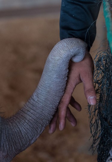 Six month-old baby elephant 'Clear Sky' reaches her trunk over to touch the hand of one of her guardians at the Nong Nooch Tropical Garden park in Chonburi on January 5, 2017 after she was taken to a veterinary clinic for a hydrotherapy session. After losing part of her left foot in a snare in Thailand, baby elephant 'Clear Sky' is now learning to walk again -- in water. The six-month-old is the first elephant to receive hydrotherapy at an animal hospital in Chonburi province, a few hours from Bangkok. The goal is to strengthen the withered muscles in her front leg, which was wounded three months ago in an animal trap laid by villagers to protect their crops. (Roberto Schmidt/AFP/Getty Images)