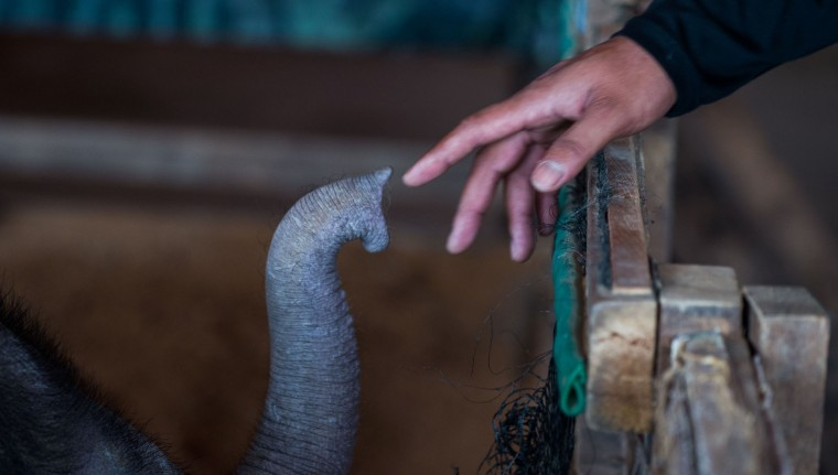 Six month-old baby elephant 'Clear Sky' reaches out with her trunk to the hand of one of her handlers at the Nong Nooch Tropical Garden tourist park in Chonburi Province on January 5, 2017. After losing part of her left foot in a snare in Thailand, baby elephant 'Clear Sky' is now learning to walk again -- in water. The six-month-old is the first elephant to receive hydrotherapy at an animal hospital in Chonburi province, a few hours from Bangkok. The goal is to strengthen the withered muscles in her front leg, which was wounded three months ago in an animal trap laid by villagers to protect their crops. (Roberto Schmidt/AFP/Getty Images)