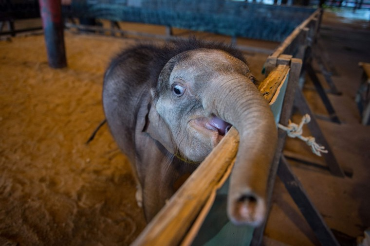 Six month-old baby elephant 'Clear Sky' reaches out with her trunk from her enclosure at the Nong Nooch Tropical Garden tourist park before she was taken to a local veterinary clinic for a hydrotherapy session in Chonburi Province on January 5, 2017. After losing part of her left foot in a snare in Thailand, baby elephant 'Clear Sky' is now learning to walk again -- in water. The six-month-old is the first elephant to receive hydrotherapy at an animal hospital in Chonburi province, a few hours from Bangkok. The goal is to strengthen the withered muscles in her front leg, which was wounded three months ago in an animal trap laid by villagers to protect their crops. (Roberto Schmidt/AFP/Getty Images)