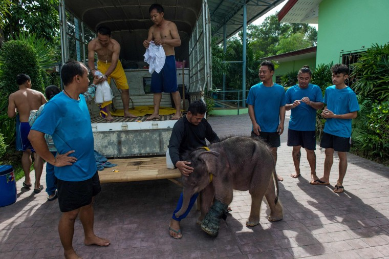 Six month-old baby elephant 'Clear Sky' stands next to one of her guardians after a hydrotherapy session at a local veterinary clinic in Chonburi Province on January 5, 2017. After losing part of her left foot in a snare in Thailand, baby elephant 'Clear Sky' is now learning to walk again -- in water. The six-month-old is the first elephant to receive hydrotherapy at an animal hospital in Chonburi province, a few hours from Bangkok. The goal is to strengthen the withered muscles in her front leg, which was wounded three months ago in an animal trap laid by villagers to protect their crops. (Roberto Schmidt/AFP/Getty Images)