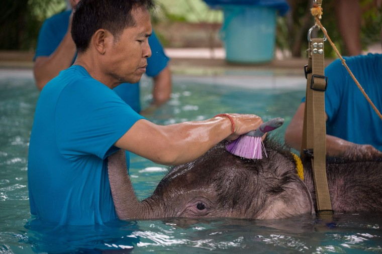 Six month-old baby elephant 'Clear Sky' gets her head scrubbed with a brush at the end of a hydrotherapy session at a local veterinary clinic in Chonburi Province on January 5, 2017. After losing part of her left foot in a snare in Thailand, baby elephant 'Clear Sky' is now learning to walk again -- in water. The six-month-old is the first elephant to receive hydrotherapy at an animal hospital in Chonburi province, a few hours from Bangkok. The goal is to strengthen the withered muscles in her front leg, which was wounded three months ago in an animal trap laid by villagers to protect their crops. (Roberto Schmidt/AFP/Getty Images)