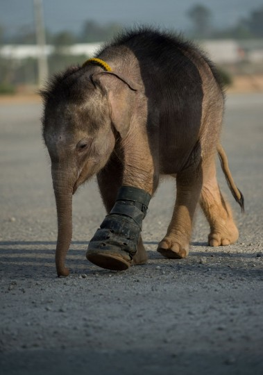 Six month-old baby elephant 'Clear Sky' walks with the help of a boot on her injured leg at the Nong Nooch Tropical Garden tourist park in Chonburi Province on January 5, 2017. After losing part of her left foot in a snare in Thailand, baby elephant 'Clear Sky' is now learning to walk again -- in water. The six-month-old is the first elephant to receive hydrotherapy at an animal hospital in Chonburi province, a few hours from Bangkok. The goal is to strengthen the withered muscles in her front leg, which was wounded three months ago in an animal trap laid by villagers to protect their crops. (Roberto Schmidt/AFP/Getty Images)