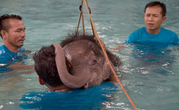 Six month-old baby elephant 'Clear Sky' rests her head on the shoulder of one of her guardians during a short break in a hydrotherapy session at a local clinic in Chonburi Province on January 5, 2017. After losing part of her left foot in a snare in Thailand, baby elephant 'Clear Sky' is now learning to walk again -- in water. The six-month-old is the first elephant to receive hydrotherapy at an animal hospital in Chonburi province, a few hours from Bangkok. The goal is to strengthen the withered muscles in her front leg, which was wounded three months ago in an animal trap laid by villagers to protect their crops. (Roberto Schmidt/AFP/Getty Images)