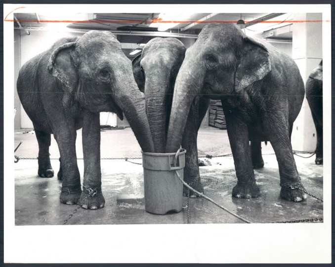Elephants with the Ringling Brothers Circus in 1977. (Baltimore Sun)