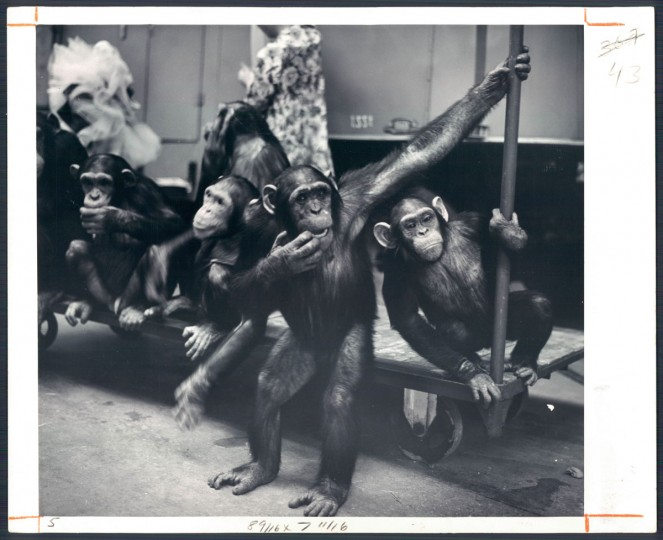 March 6, 1966 - Ringling Brothers: Barnum and Bailey Circus -- Chimpanzees waiting to be dressed for their act. Photo taken by Baltimore Sun Staff Photographer Richard Stacks