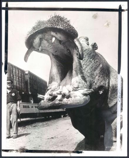 Hippo at Ringling Bros. & Barnum & Bailey Circus in 1956. (Baltimore Sun)