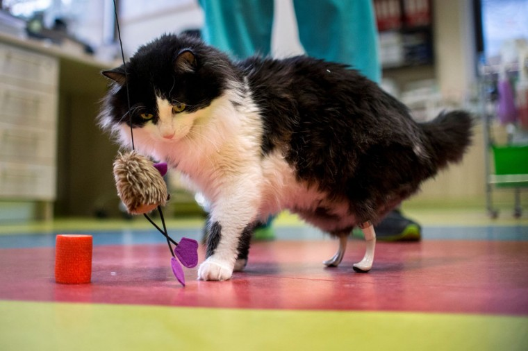 This picture taken on January 26, 2017 in Sofia shows the one-year-old cat Pooh playing with a toy with new bionic back paws. Two Bulgarian cats who lost their hind legs in accidents are being given new bionic paws in what vets say is the first such operation in Europe outside ground-breaking Britain. But that is not all there is to it, the stray fluffies are also looking to find homes. (AFP PHOTO / NIKOLAY DOYCHINOV)